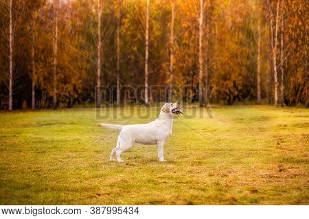 A Labrador Dog Runs In The Autumn Forest. Labrador Retriever Dog In The Fall Between Leaves.
