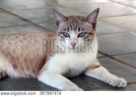 Brown Striped With White Color Cat Laying Down On The Floor. A Small Domesticated Carnivorous Mammal