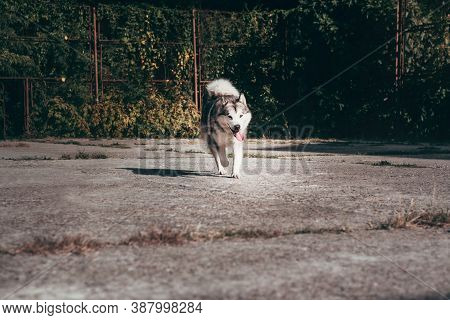 A Large Fluffy Alaskan Malamute Of Gray And White Color Walks On The Street. Female Malamute, A Huge