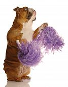 english bulldog holding cheerleading pompoms isolated on white background poster