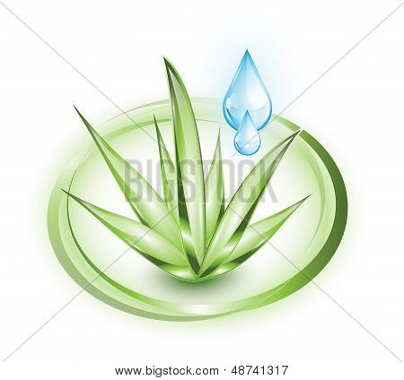Aloe vera with water drops