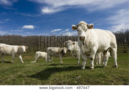 Some Cows