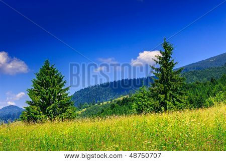 Two Coniferous Tree