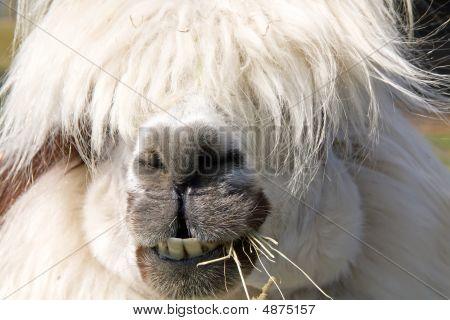 Male White  Alpaka