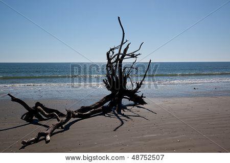 Live Oak tree laying dead