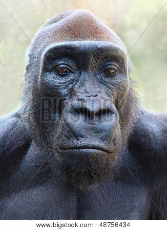 The Gorilla portrait.