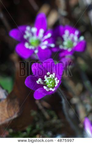 Beautiful Purple Liverwort Flower