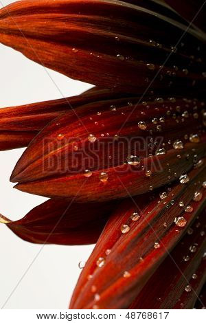 Red Sun Flower With Water Drops