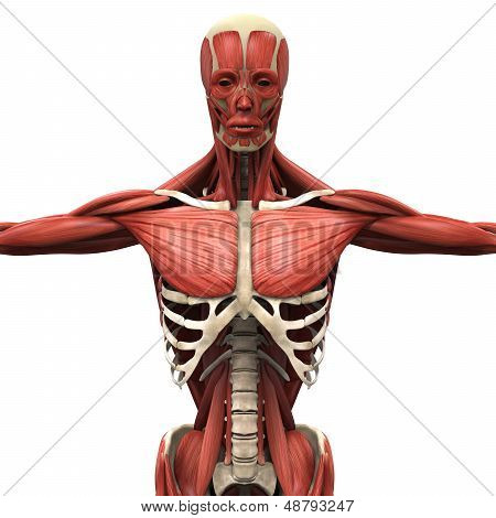Illustration of Human Anterior Muscles. 3D Render poster