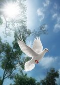 white dove flying on sky with trees behind poster