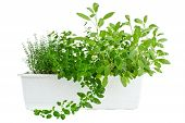 Fresh herbs in planter thyme oregano and sage isolated on white poster