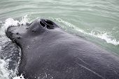 Tail fin of the mighty humpback whale (Megaptera novaeangliae) seen from the boat near Husavik Iceland poster