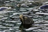 California sea lion (Zalophus californianus) rests with its head above the water of Monterey Bay poster