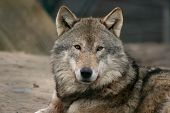 close-up of gray wolf on the look out poster