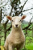A portrait of a young spring lamb looking forward. poster