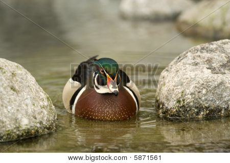 Wild Male Duck Swimming In A Pond.