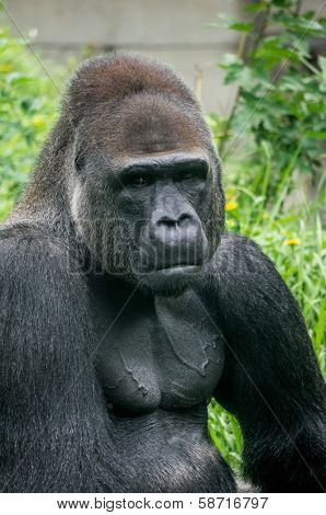 Gorilla portrait and body muscle poster