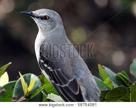 Extreme Closeup of a Northern Mockingbird