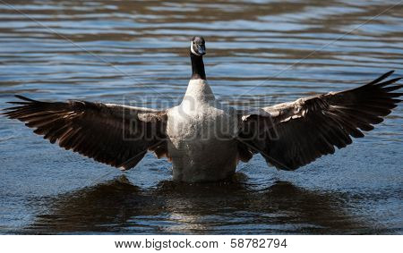 Canadian Goose Flapping Wings In Soft Focus