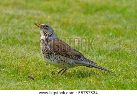 thrush outdoor (Turdus Obscurus)