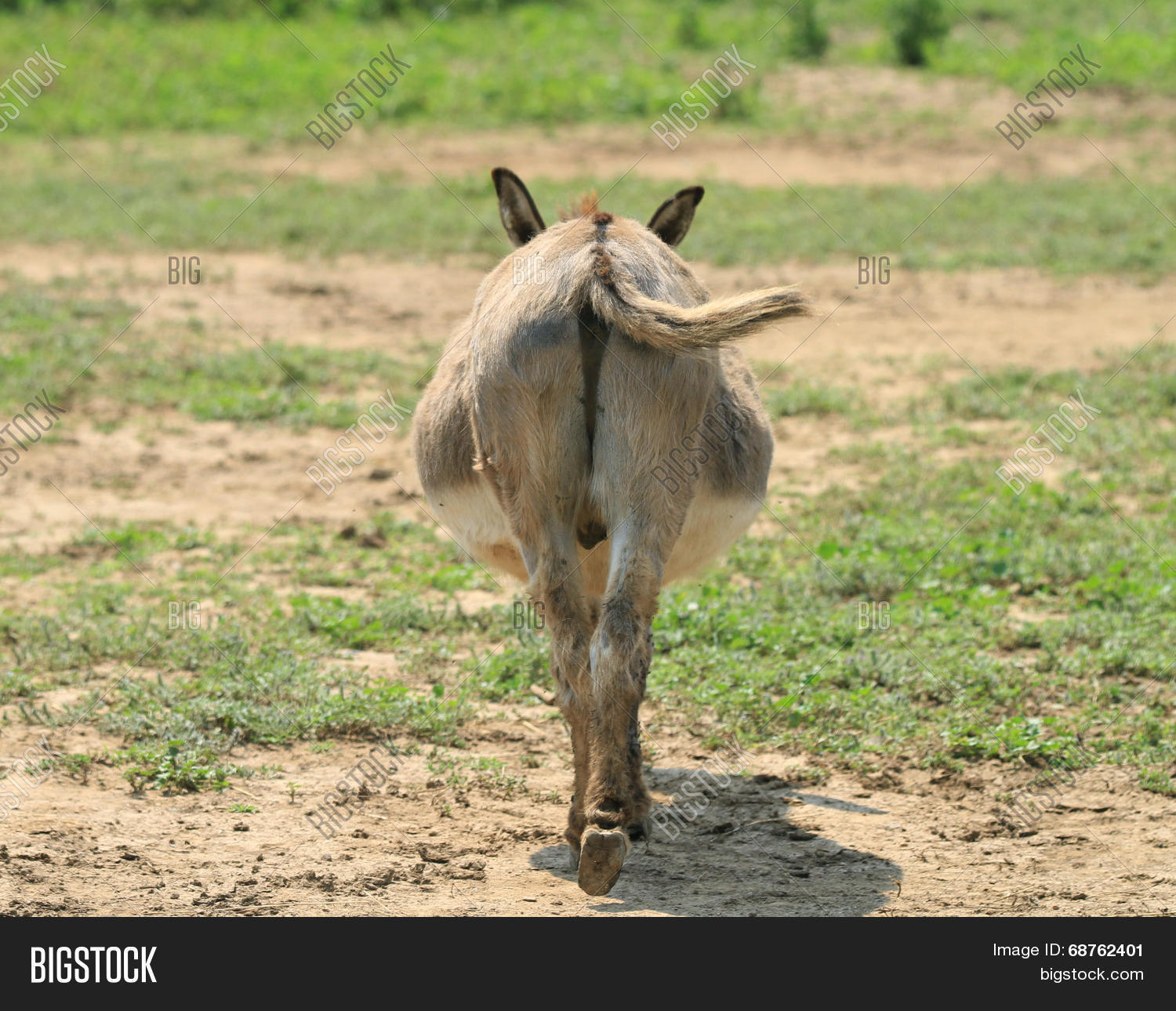 donkey s butt image photo free trial bigstock