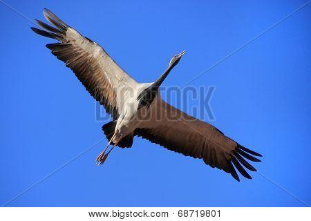 Demoiselle Crain (anthropoides Virgo) Flying In Blue Sky, Khichan Village, India