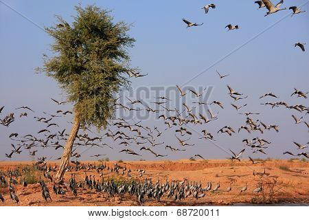 Flock Of Demoiselle Crains Near Khichan Village, India