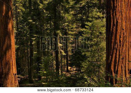 Redwood Trees 0119
