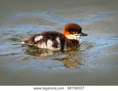 Baby Merganser Duckling