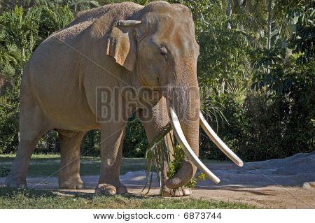 Male Indian Elephant