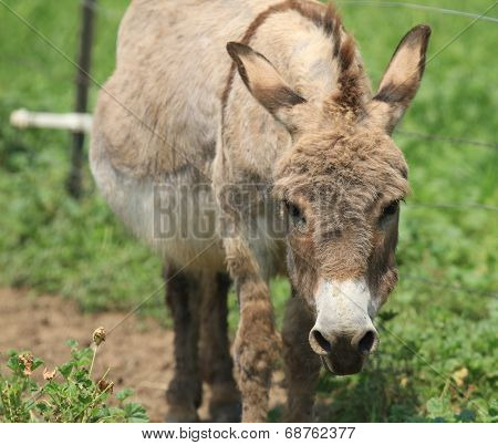 Angry Donkey Face