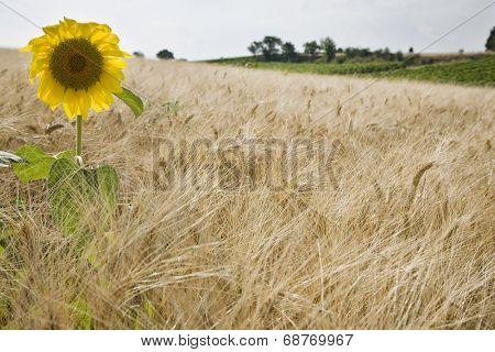 Sunflower in wheatfield