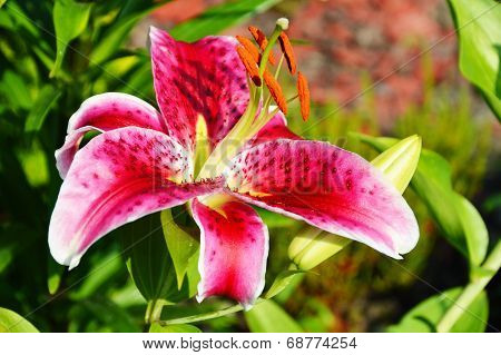 Blooming Lilium in the garden in July poster