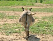 Donkey's butt end with tail swishing in a pasture poster