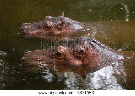 Two hippopotamuses (Hippopotamus amphibius).