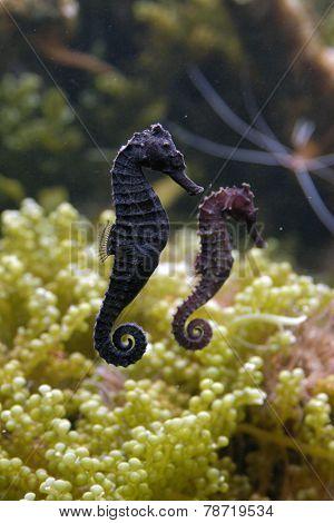 Seahorse (Hippocampus) in an aquarium.