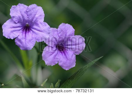 Mexican Petunia Flower