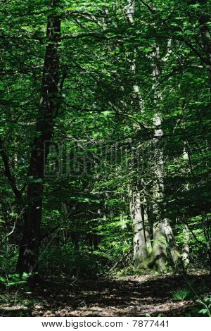 Dappled Sunlight Breaking Through An Overgrown Wood Onto The Trunks Of Some Beech Trees