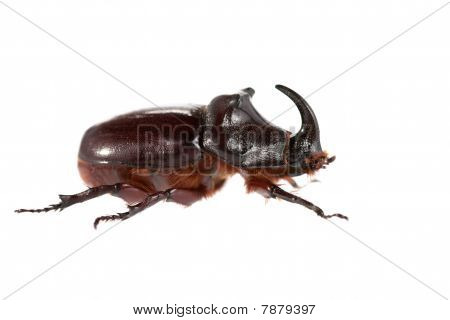 Big Rhinoceros beetle macro on a white background poster