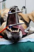 dog under anesthetic dog prepared for operation poster