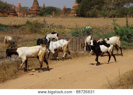 Herd Of Goats Grazing