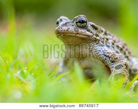 Green Toad Sitting In Grass