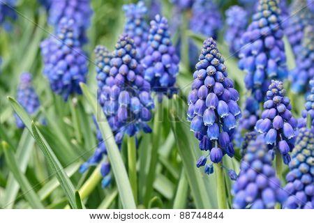 Blooming blue flowers (grape hyacinths, Muscari Neglectum)