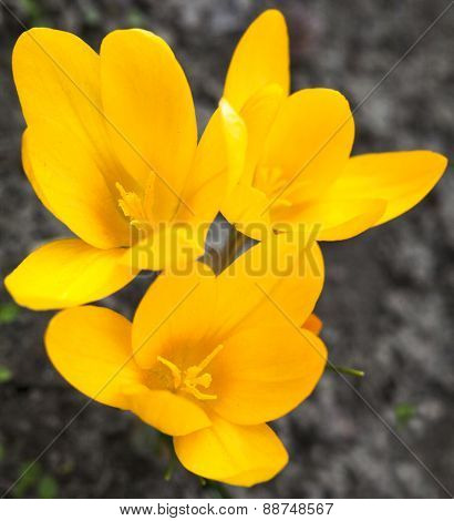 Yellow Crocuses Blooming In Early Spring