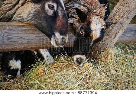Sheep Munching Hay