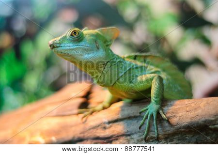 Green Chameleon Lizard