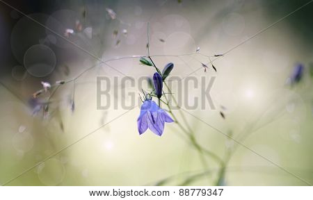 Background with of wildflowers - blue Harebells (Campanulas). poster