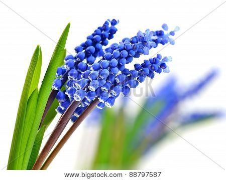 Small Blue Flowers Muscari