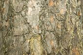closeup of a tree bark use as background or for textured purposes poster