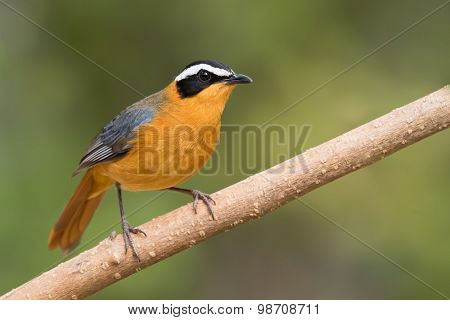 White-browed robin-chat (Cossypha heuglini) perched on a branch poster